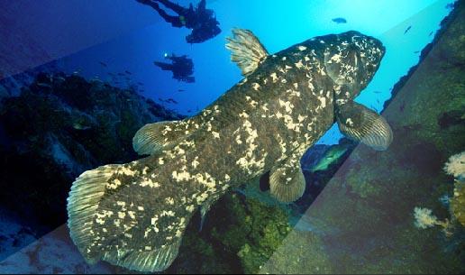 Coelacanthe